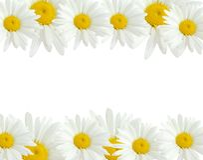 chamomile royaltyfri bild