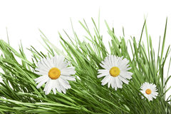 Chamomile. And grass over white background Royalty Free Stock Photos