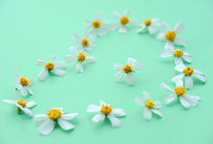 Chamomile Stock Photos