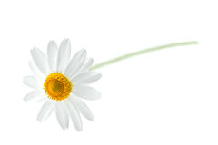 chamomile arkivbild