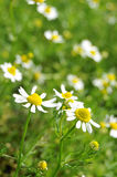 Chamomile. Close up of German Chamomile (Matricaria recutita) plant known as the plant doctor royalty free stock photography