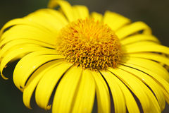 Chamomile. Spring yellow daisy close up Royalty Free Stock Images