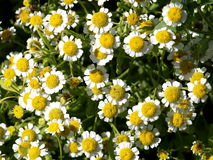 Chamomile. In the garden  with beautiful fragrance Royalty Free Stock Photo