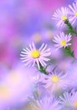 chamomile arkivfoto