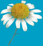 Chamomile. (Matricaria chamomilla) - High detailed illustration Royalty Free Stock Images