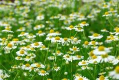 chamomile Στοκ Εικόνες