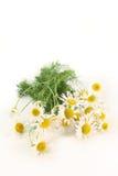 chamomile Στοκ εικόνες με δικαίωμα ελεύθερης χρήσης