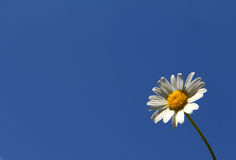 chamomile Royaltyfria Bilder