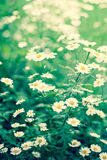 Chamomile. The background of beautifuf chamomiles Royalty Free Stock Photography