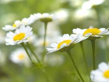 Free Chamomile Stock Photos - 2612163
