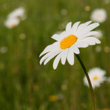 Chamomile. Wild flowers of chamomile with green background Stock Images