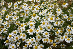 Chamomile. Meadow royalty free stock photography