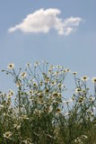 Chamomile. With blue sky royalty free stock images