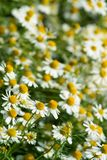Chamomile Royalty Free Stock Image