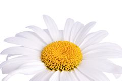 Chamomile. Closeup of chamomile on white background with clipping path Stock Image