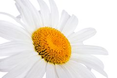 Chamomile. Closeup of chamomile on white background with clipping path Royalty Free Stock Image