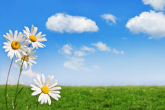 Chamomile. Sky and grass field Royalty Free Stock Images