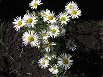 3 chamomile Στοκ Εικόνες
