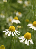 Chamomile. Flowers Royalty Free Stock Photography