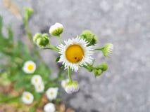 Ο chamomile στοκ φωτογραφίες