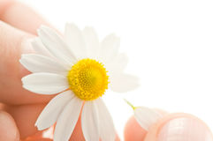 Chamomile. In human hand isolated Stock Photography