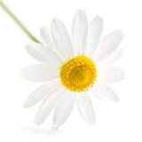 chamomile royaltyfria foton
