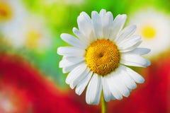 Chamomile Among Flowers Stock Photo