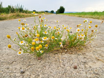 Chamomile from the asphalt Royalty Free Stock Photo