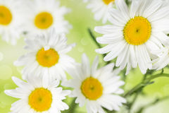 Chamomile on a background bokeh Stock Photos