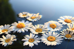 Chamomile background. In fresh pond water Stock Photos