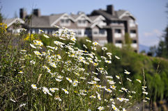 chamomile on a background of houses Royalty Free Stock Image