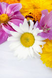 Chamomile on background of summer flowers Royalty Free Stock Photo