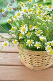 Chamomile in basket Stock Photography
