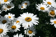 Chamomile in the garden Royalty Free Stock Images