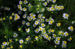Chamomile flowers on a field. shallow depth of field. low key photo. chamomile flowers background. Blooming chamomile field. Beautiful chamomile flowers on top Stock Images