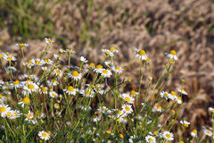 Chamomile and bee Stock Images