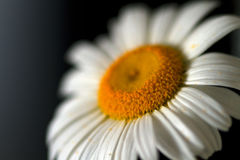 Chamomile on black background with space for text. Chamomile Plant, Flower, Daisy, Shasta Daisy, Single Flower Royalty Free Stock Photography