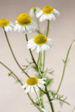 Chamomile Blossoms Royalty Free Stock Photography