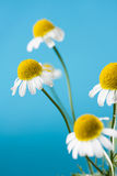 Chamomile Blossoms Royalty Free Stock Image