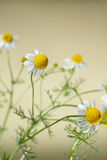 Chamomile Blossoms Stock Images