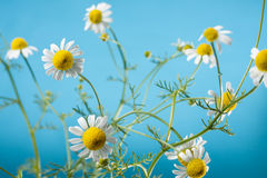 Chamomile Blossoms Stock Photography