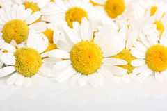 Chamomile blossoms. Group of chamomile blossoms on white reflective background Stock Photo
