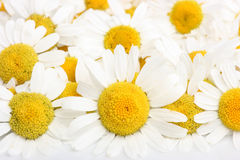 Chamomile blossoms. Group of chamomile blossoms on white reflective background Royalty Free Stock Image