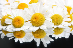 Chamomile blossoms Royalty Free Stock Images