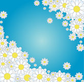 Chamomile. Blue background with white flowers. Royalty Free Stock Photography