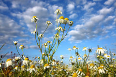 Chamomile on blue sky. Meadow with flowers of chamomile Stock Image