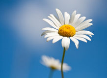 Chamomile on blue sky selective focus Royalty Free Stock Images