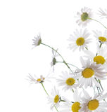 Chamomile border Royalty Free Stock Photo
