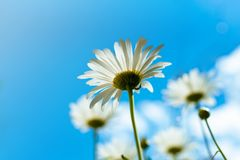 Chamomile, bottom view against the blue sky with clouds. Macro close-up photo, light colors. Card design concept, copy space. Chamomile, bottom view against royalty free stock image