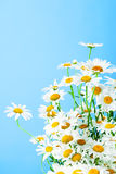 Chamomile bouquet Stock Image